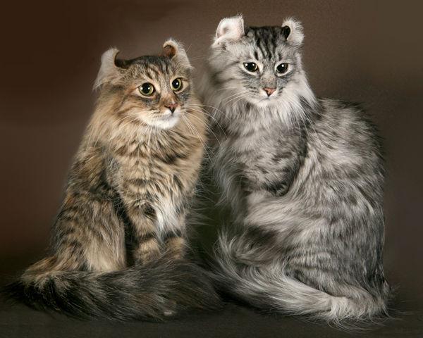 американский керл фото кошки